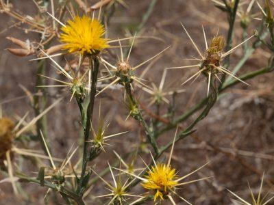Yellow Star-thistle (Centaurea solstitialis) Mount Diablo State Park Clayton, CA
